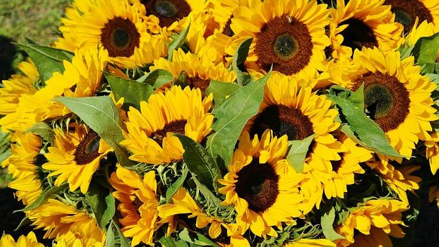 kytice rozkvetlých slunečnic